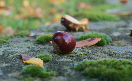 horse chestnut seed: single chestnut on the ground