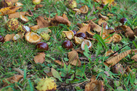 horse chestnut seed: some chestnuts Stock Photo