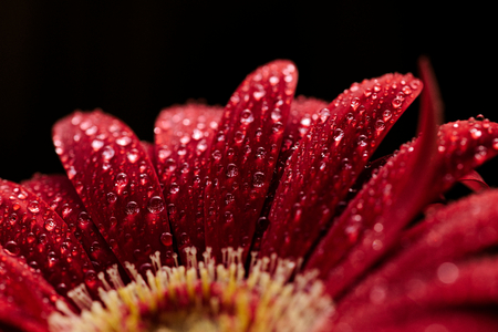 red gerbera with raindrops