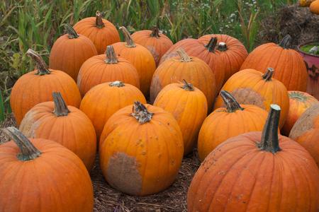 autumn colour: pumpkins