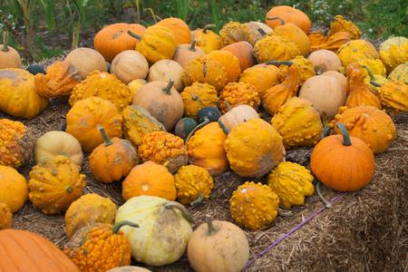 autumn colour: smallpumpkins Stock Photo