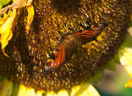 a nice peacock butterfly on a sunflower