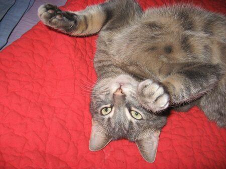 gato jugando: Gato que juega