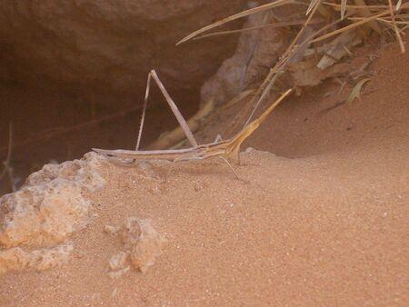Desert Walking Stick Stock Photo - 2680699