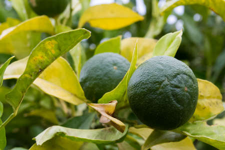 unripe: unripe lemon