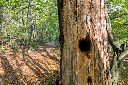 nest of a woodpecker on a tree in a German forest photo