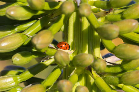 Ladybird on giant yellow flower Imagens
