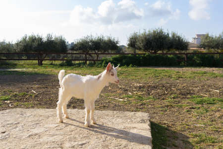 Goat Giurgintana. Very rare sicilian breed Imagens