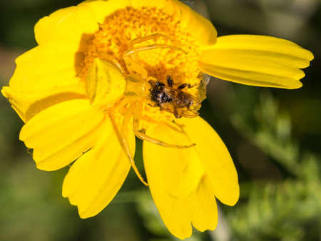 goldenrod crab spider: Crab spider Thomisidae hunting a bee Stock Photo