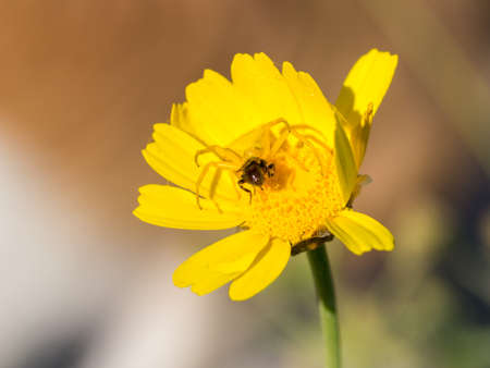 goldenrod spider: Crab spider Thomisidae hunting a bee Stock Photo