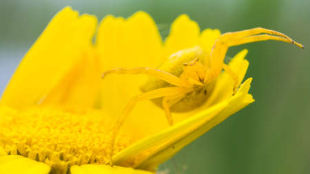 arachnida: Crab spider on yellow flower