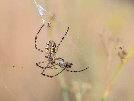 Argiope lobata eats a prey. Sicily Imagens - 50297936