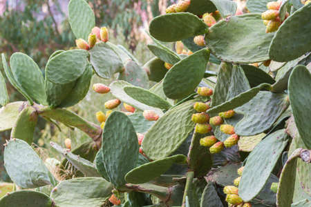 Prickly pears in Sicily