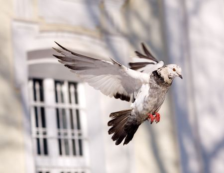 The pigeon in flight on a background of church