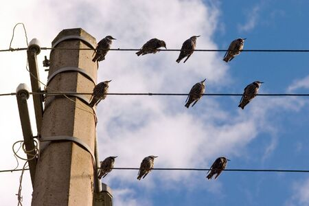 Group of starlings on wires on a background of the sky