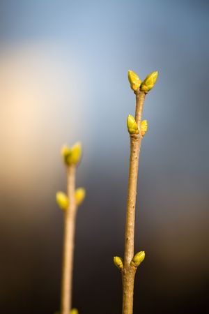 The first buds on a tree in the spring