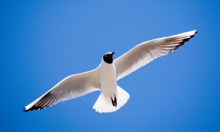 The seagull in flight on a background of the sky