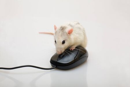 Rat and a mouse on white background