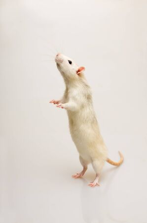 White rat on a white background standing at attention Banque d'images