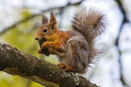 The squirrel eats a bark of a tree