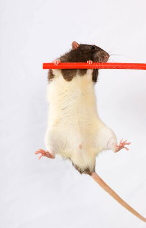 Czarno-białe szczury na trawers Zdjęcie Seryjne - 3576572