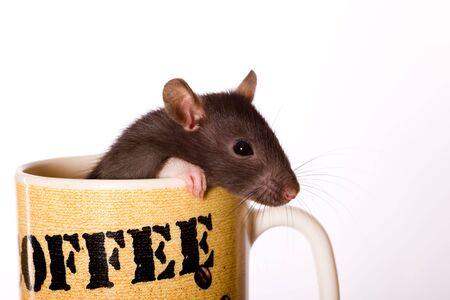 Le petit rat noir ressemble à une tasse de café