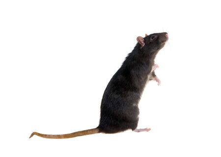Portrait of a standing black rat on a white background