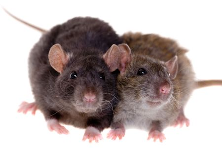 Two small domestic rats isolated on white Stock Photo