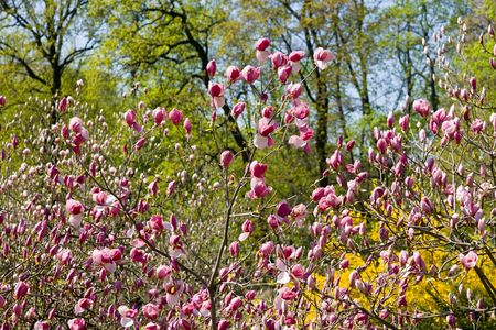 Pink blossoming magnolia in sunny spring garden Stock Photo - 6289483