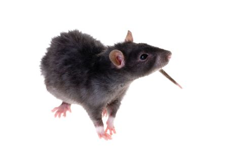 Young black rat close-up isolated on white Banque d'images