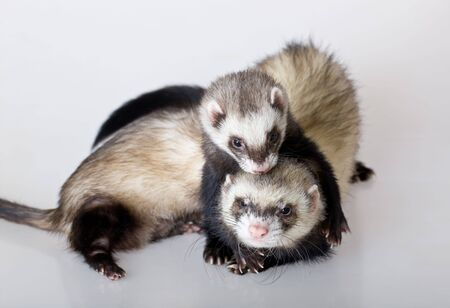 Two embracing polecats on a white background