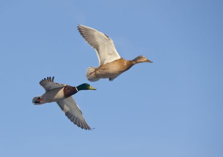 Pair of ducks in flight against the sky Stock Photo