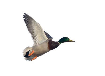 Duck in flight (male), isolated on white