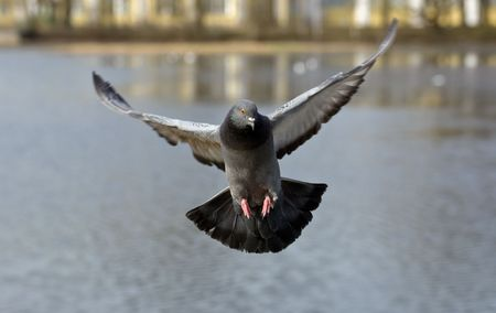 Pigeon in flight against water close up
