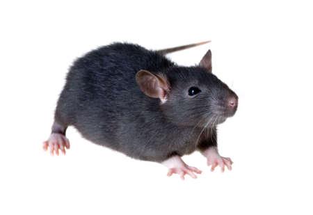 Portrait d'un petit rat noir, isolé