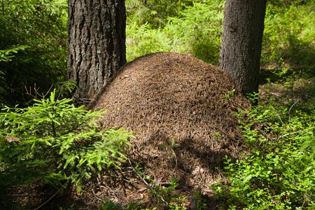 The big ant hill in coniferous wood
