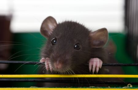 The small infant rat looks out of a cage