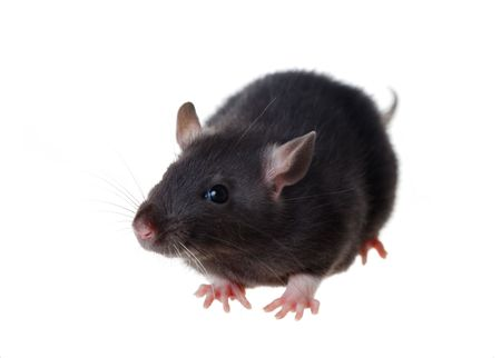 Portrait d'un petit rat noir, isol?