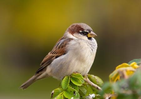 Portrait of a sparrow on a branch close up Standard-Bild