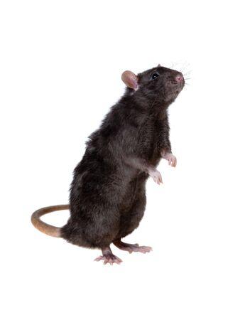 Portrait d'un rat curieux noir, isolé