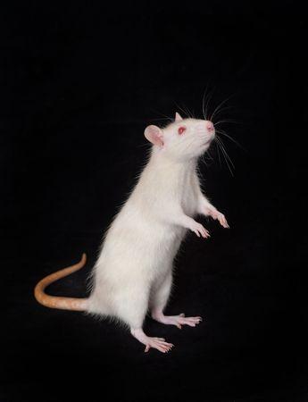 Rat domestique blanc sur fond noir