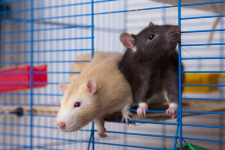 Red and black rats in a cage Stock Photo