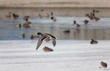 Flight of ducks on the winter river