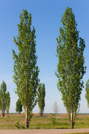 High green spring poplars on a roadside