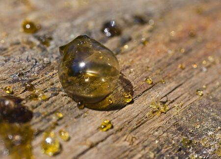 The big drop of pine resin close up