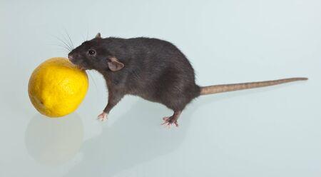 Noir rat domestique avec un citron sur une table