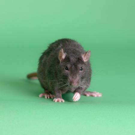 gros rat noir intérieur sur un fond vert
