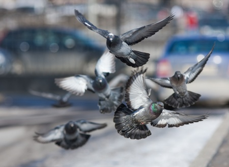 flock of pigeons flying over the street Stock Photo