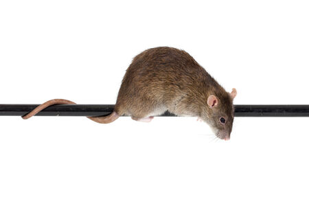 brown domestic rat on black pole, isolated