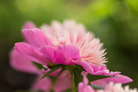 pink peony closeup in sunny summer day photo